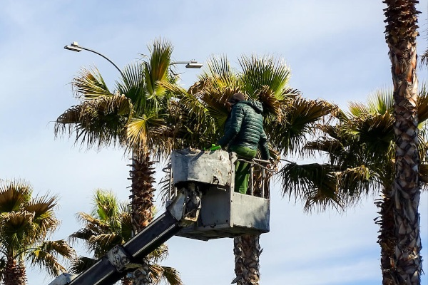 Palm Tree Skinning, Trimming & Removal