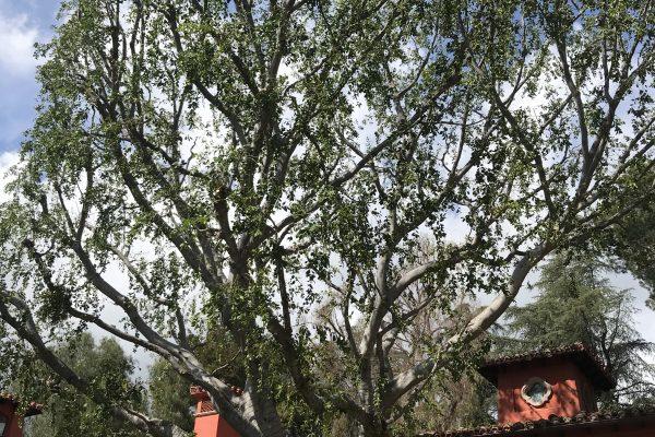 Tree Trimming Encino, California