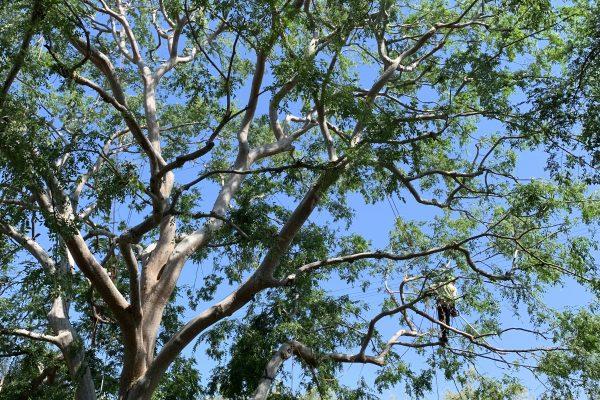 Tree Thinning Encino, California