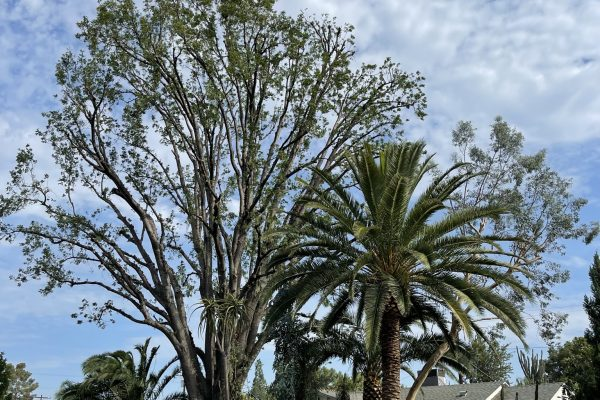 Tree Trimming in Van Nuys, California